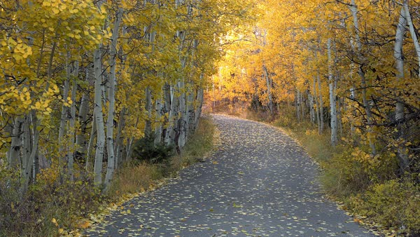 View of path winding through yellow aspen trees during Fall in Utah. Royalty-free stock video