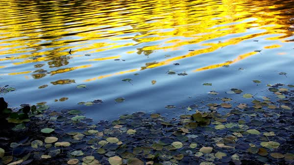 Yellow glow from trees reflecting in small lake during Fall in Utah. Royalty-free stock video