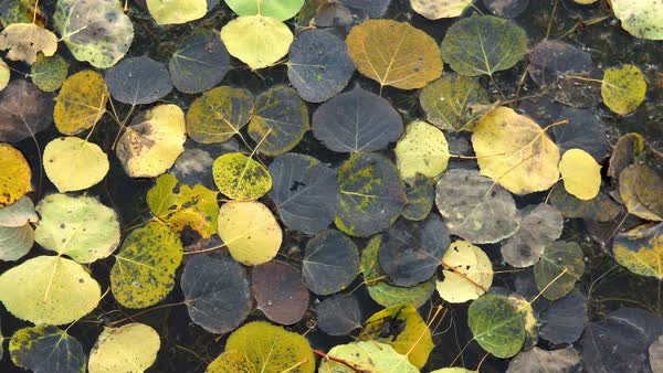 Colorful aspen leaves floating on top of water during Fall in Utah. Royalty-free stock video