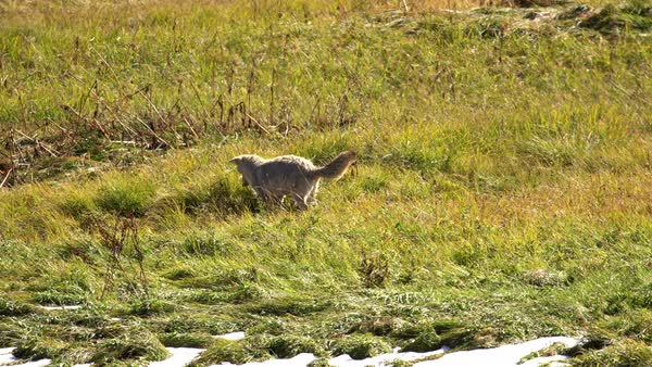 Coyote pouncing in the grass after a gopher it is hunting. Royalty-free stock video