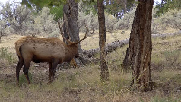 Bull Elk with trophy antlers grazing in forest Royalty-free stock video