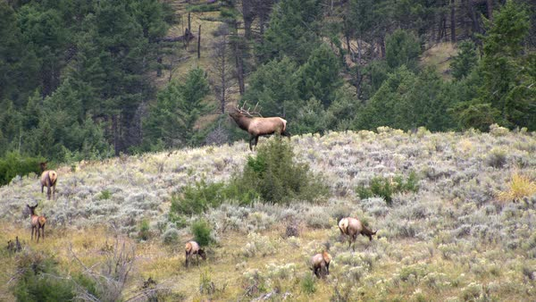 Bull Elk in the sage brush grazing as bull cases cow. Royalty-free stock video
