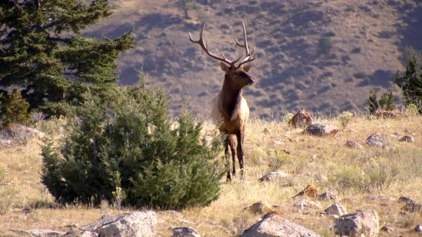 Bull Elk with trophy antlers keeping watch on hillside Royalty-free stock video