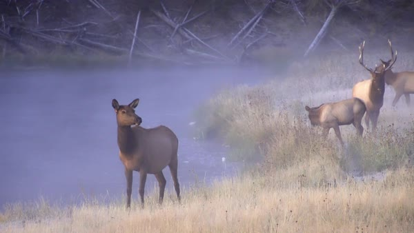 Elk walking along river at dawn on cold foggy morning as young calf nurses in Yellowstone. Royalty-free stock video