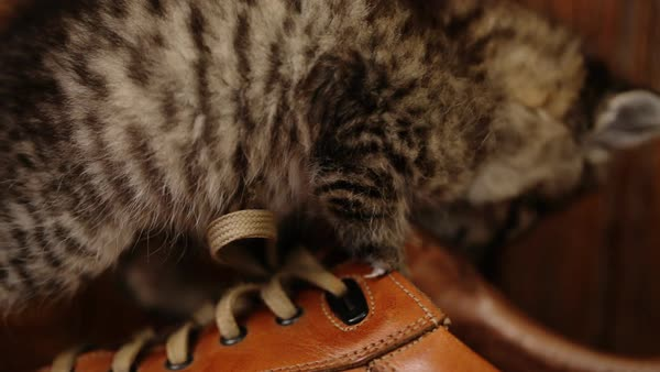 Cute kitty with blue eyes playing  on brown shoes. Royalty-free stock video