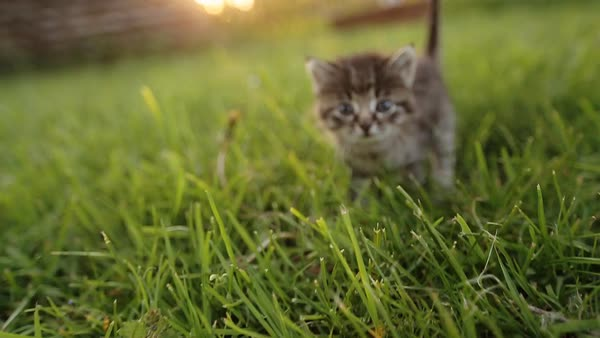 Cute kitty with blue eyes walking on the garden. Royalty-free stock video