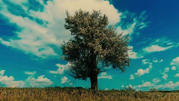 Timelapse of a blossomed oak tree in the horizon, in a beautiful meadow, with summer clouds and sky as background. Royalty-free stock video