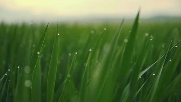 Dew drops on grass in the morning before sunrise, Close-up pan Royalty-free stock video