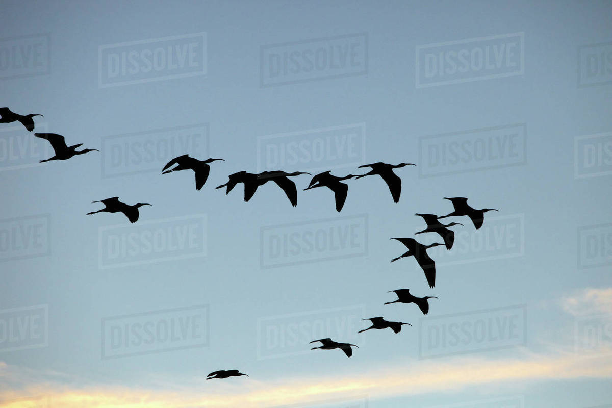 Egypt Birds Flying On The River Nile To The Late D1129 7 072