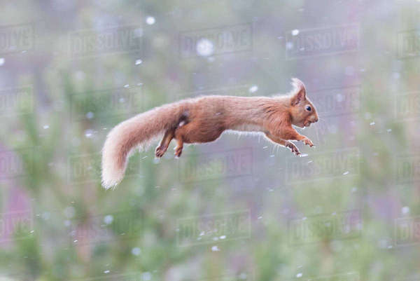 Red Squirrel Leaping From Tree To Tree During Snowfall Royalty-free stock photo