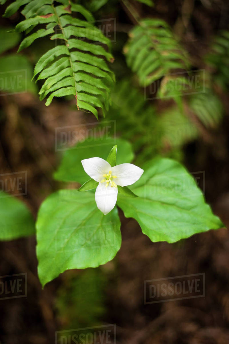 Photograph Of Beautiful White Trillium Flower Mendocino County