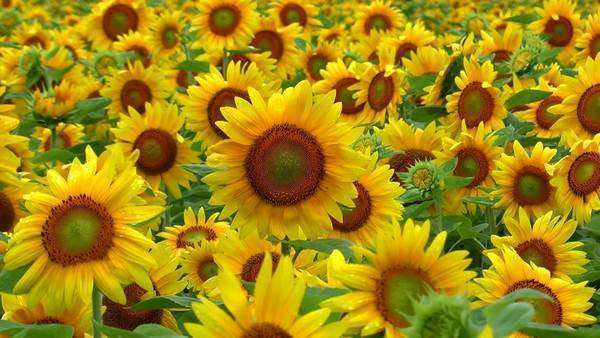 Sunflower field Royalty-free stock video