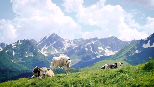 Cow herd grazing and lying on spring hill top on background of high snowy mountains and clouds Royalty-free stock video