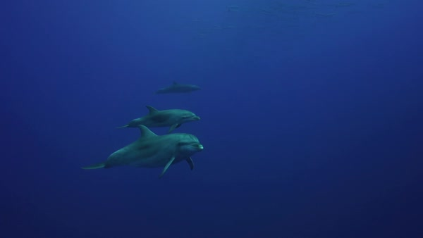 Dolphin mother with baby passing in front of the camera Royalty-free stock video