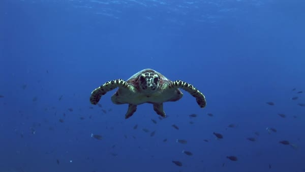 Hawksbill turtle curious approaching camera Royalty-free stock video