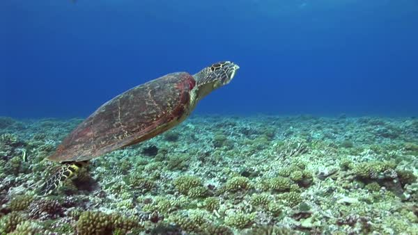 Hawksbill turtle swimming up to the surface Royalty-free stock video