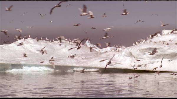 Panning shot of a flock of albatross flying over a iceberg in Greenland Rights-managed stock video