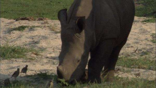 Medium slow motion shot of a baby rhinoceros grazing in an African grassland Rights-managed stock video