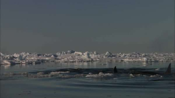 Static shot of a group of killer whales surfacing in icy water at the Antarctica Rights-managed stock video