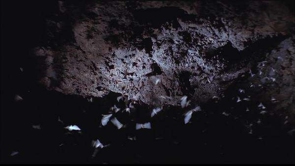 Tilt-down shot of a bat colony in a cave Rights-managed stock video