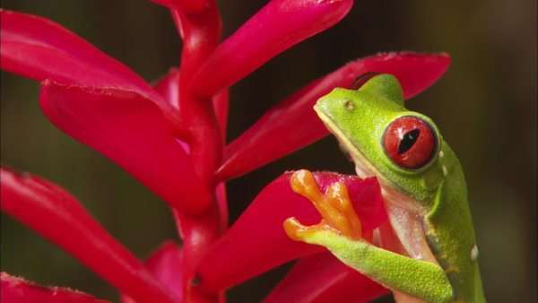 Static shot of a red-eyed tree frog in Costa Rica Rights-managed stock video