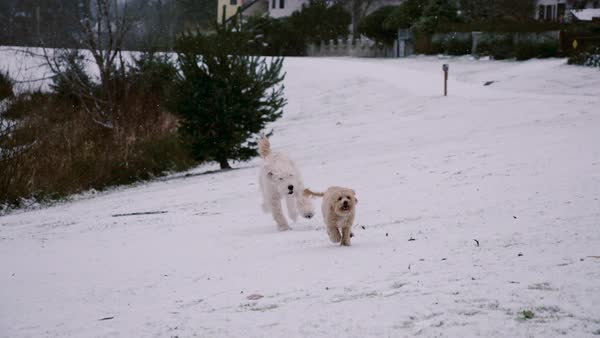 Slow motion of dogs running in snow Royalty-free stock video