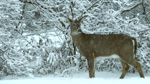 Young deer buck survives in winter blizzard by eating branches. Royalty-free stock video
