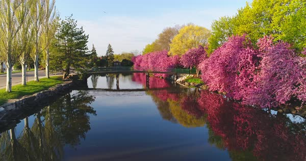 Flowering Crabapple trees reflected in river, Springtime morning. Royalty-free stock video