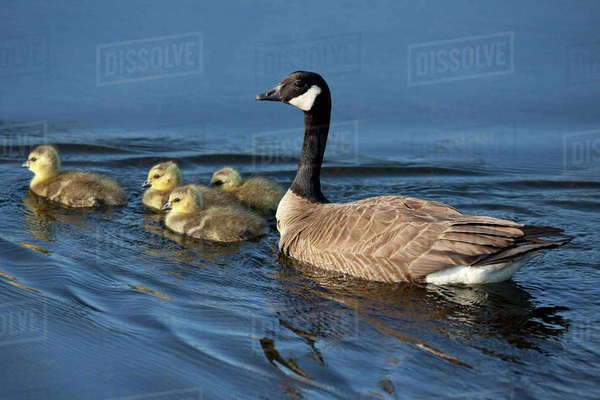 Adult Canada Goose Swimming With Four Newborn Gosling Chicks In Potter Marsh, Anchorage, Southcentral Alaska, Spring Rights-managed stock photo