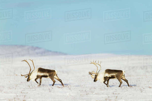 Barren ground caribou (Rangifer tarandus) travel across the snow covered tundra along the arctic coastal plains, Arctic Alaska; Alaska, United States of America Rights-managed stock photo