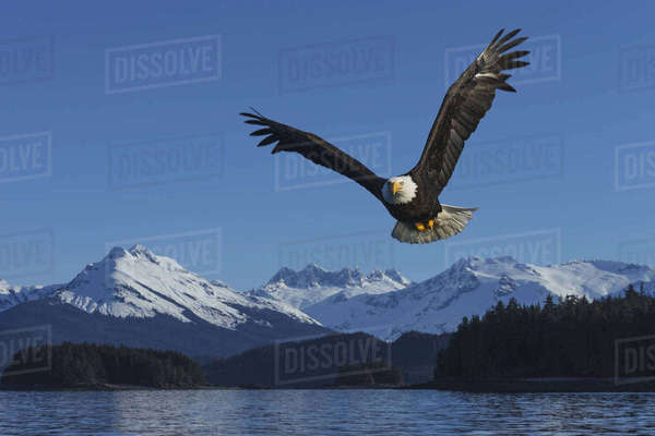 COMPOSITE: A bald eagle soars against a blue sky in Auke Bay near Juneau, Inside Passage, Southeast Alaska. Rights-managed stock photo