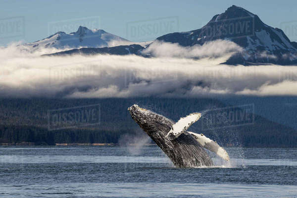 A humpback whale breaches as it leaps from the calm waters of Lynn Canal in Alaska's Inside Passage. The forested shoreline and Chilkat Mountains beyond, Tongass National Forest. Rights-managed stock photo
