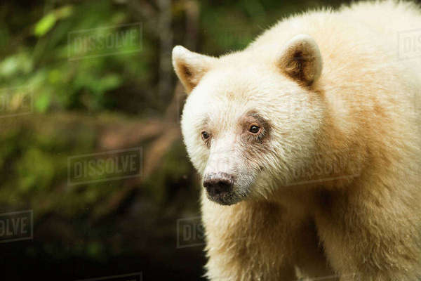 Close up of a Spirit Bear, Great Bear Rainforest, British Columbia, Canada Rights-managed stock photo