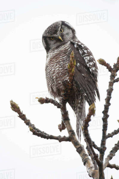 Northern Hawk Owl Cocks Its Head Quizzically While Perched In A Poplar Tree Near Wonder Lake In Denali National Park And Preserve, Interior Alaska, Fall Rights-managed stock photo