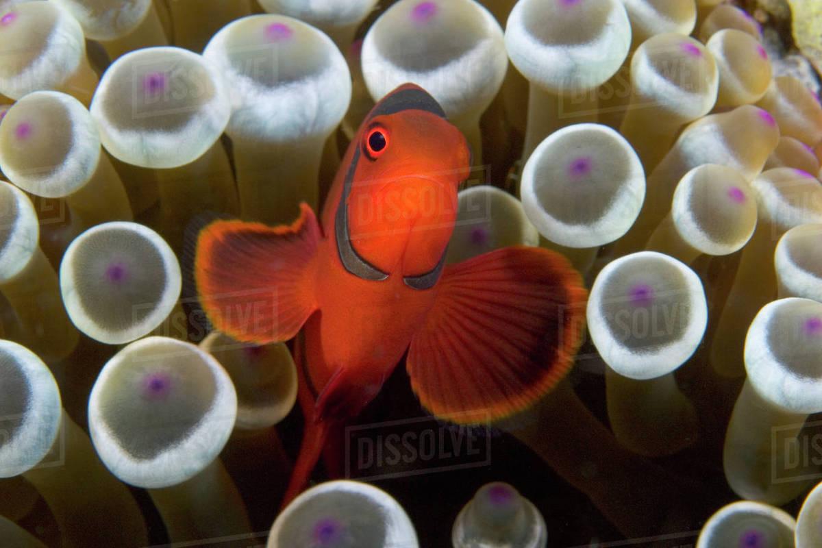 Indonesia, Male Spine-Cheek Clownfish (Premnas Biaculeatus) Within ...
