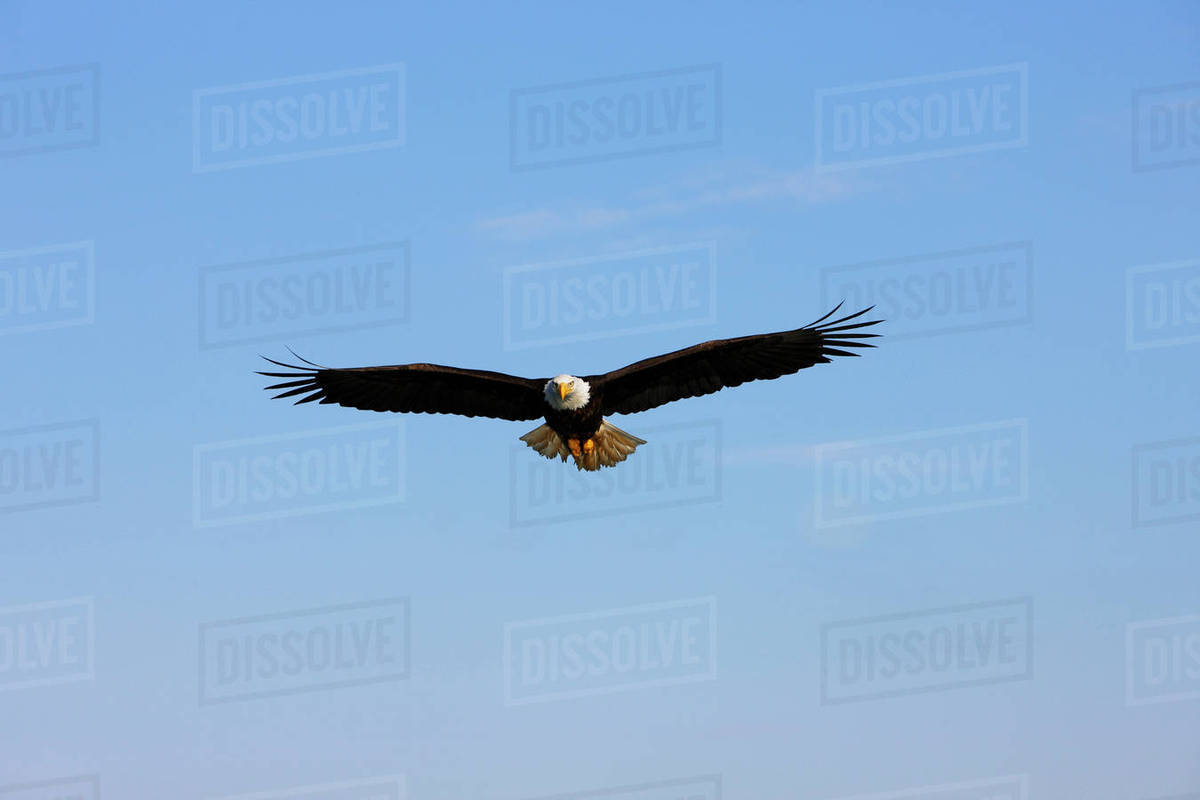 Alaska Tongass National Forest Inside Passage Bald Eagle Flying