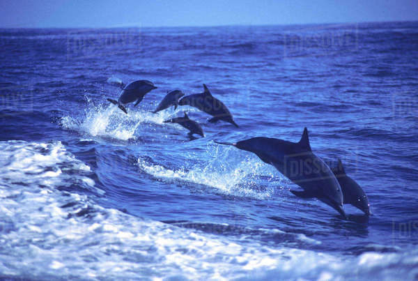 Hawaii, Six Spinner Dolphins (Stenella Longirostris) Leap Into The Air At The Same Time. Rights-managed stock photo