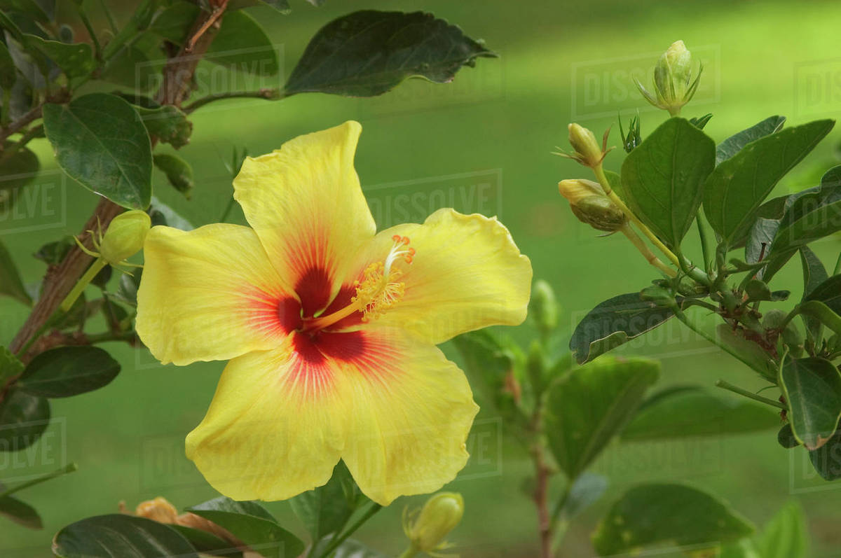 Hawaii Yellow Hibiscus Blossom With A Bright Red Center Stock