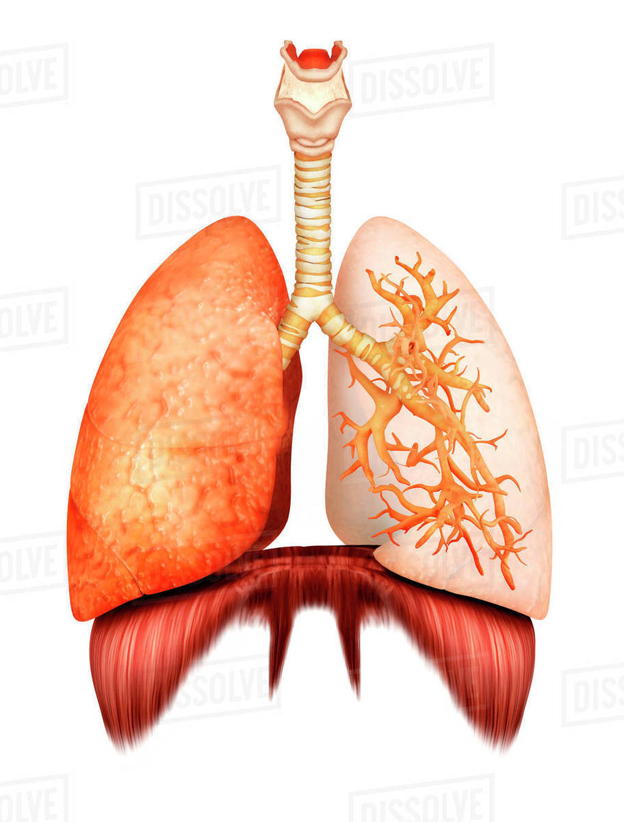 Anatomy Of Human Respiratory System Front View Stock Photo