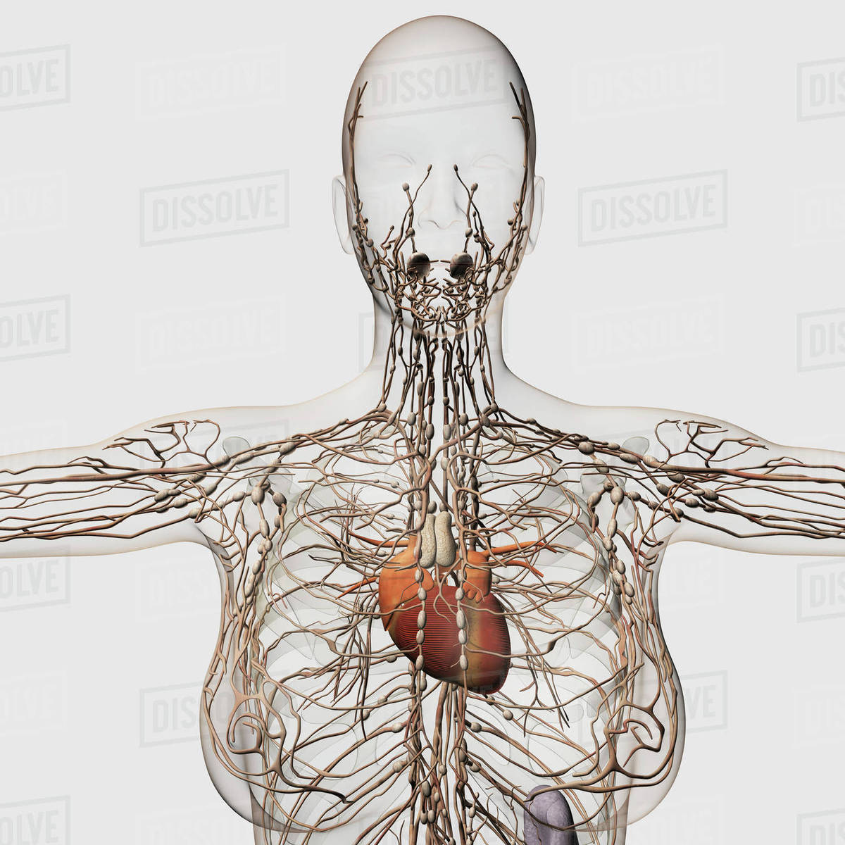 Medical illustration of female lymphatic system with heart. - Stock ...