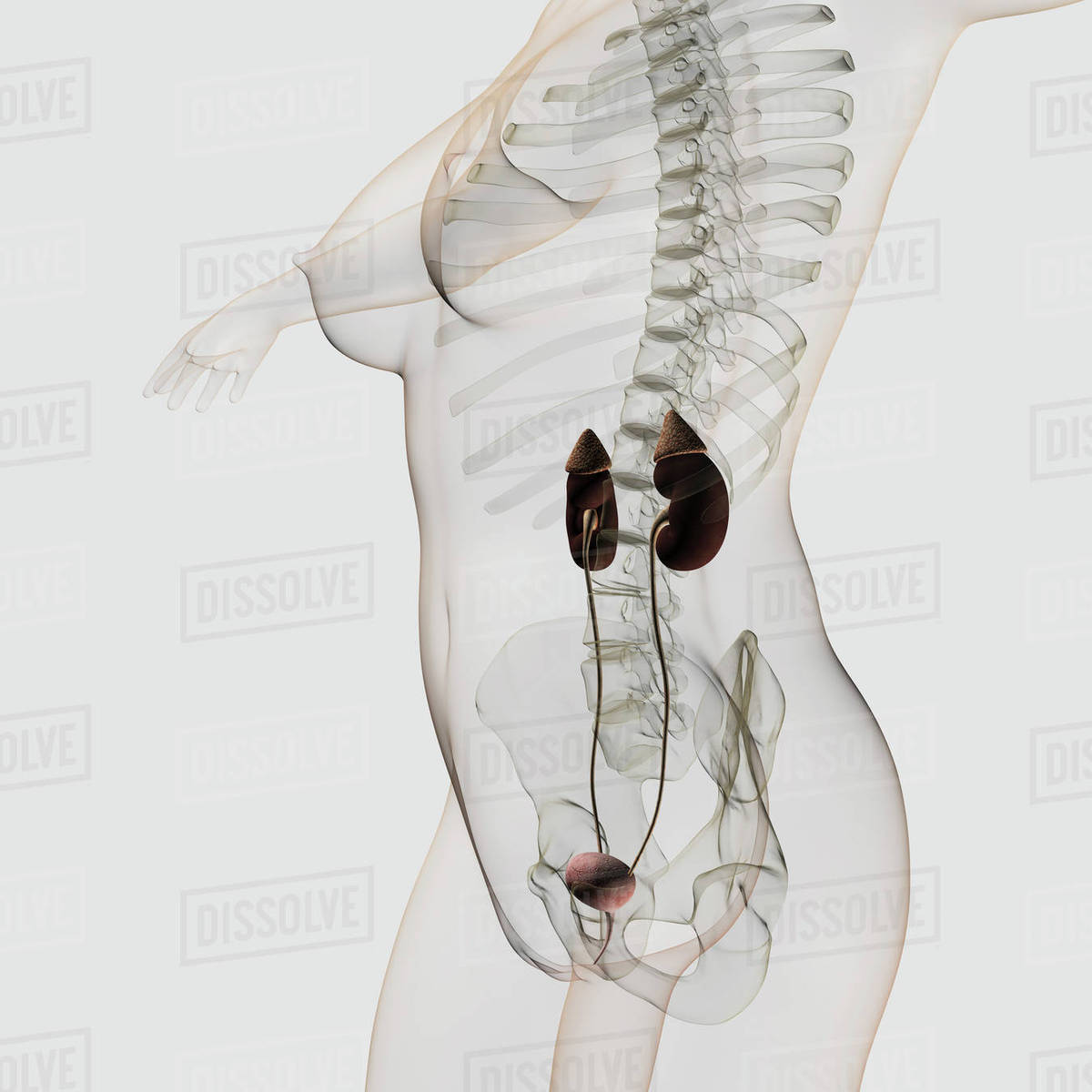 Three Dimensional View Of Female Urinary System Stock Photo
