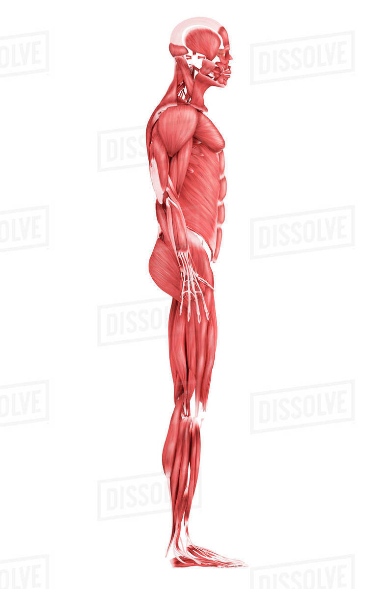 Medical Illustration Of Male Muscular System Side View Stock