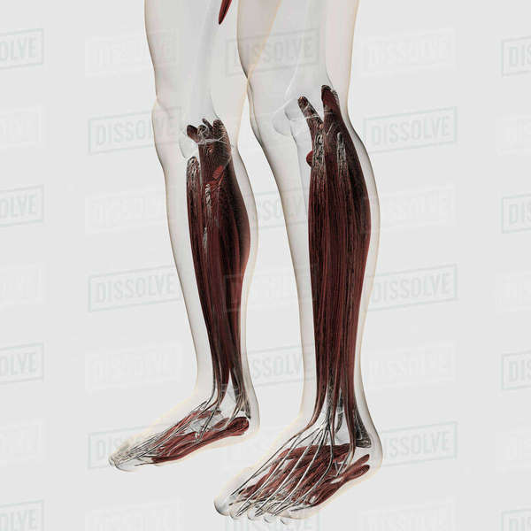 Male Muscle Anatomy Of The Human Legs Anterior View Stock Photo