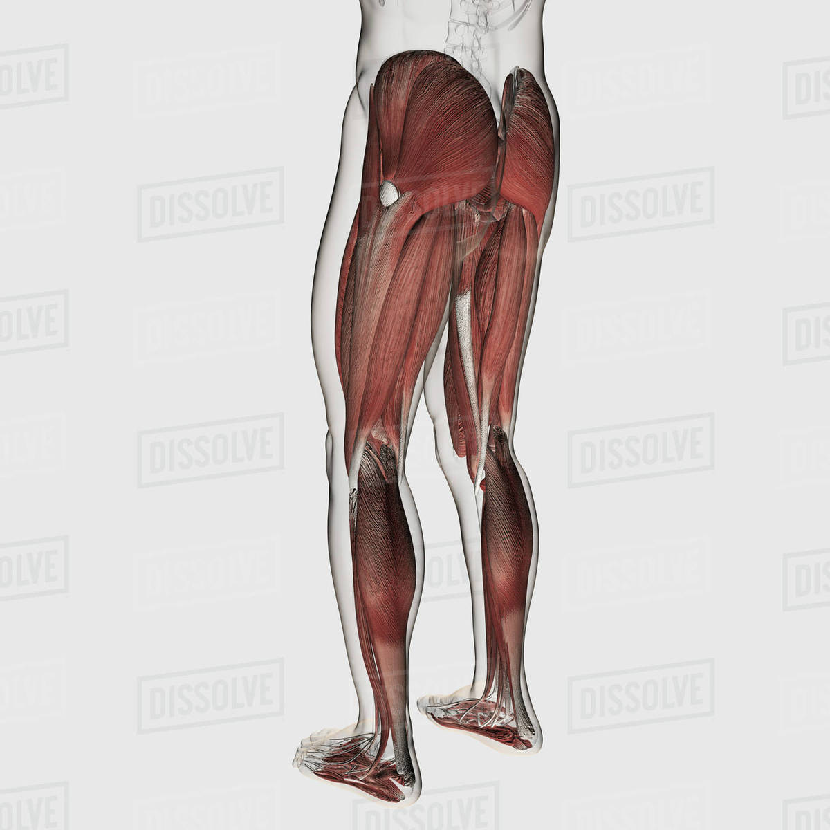 Male muscle anatomy of the human legs, anterior view. - Stock Photo ...