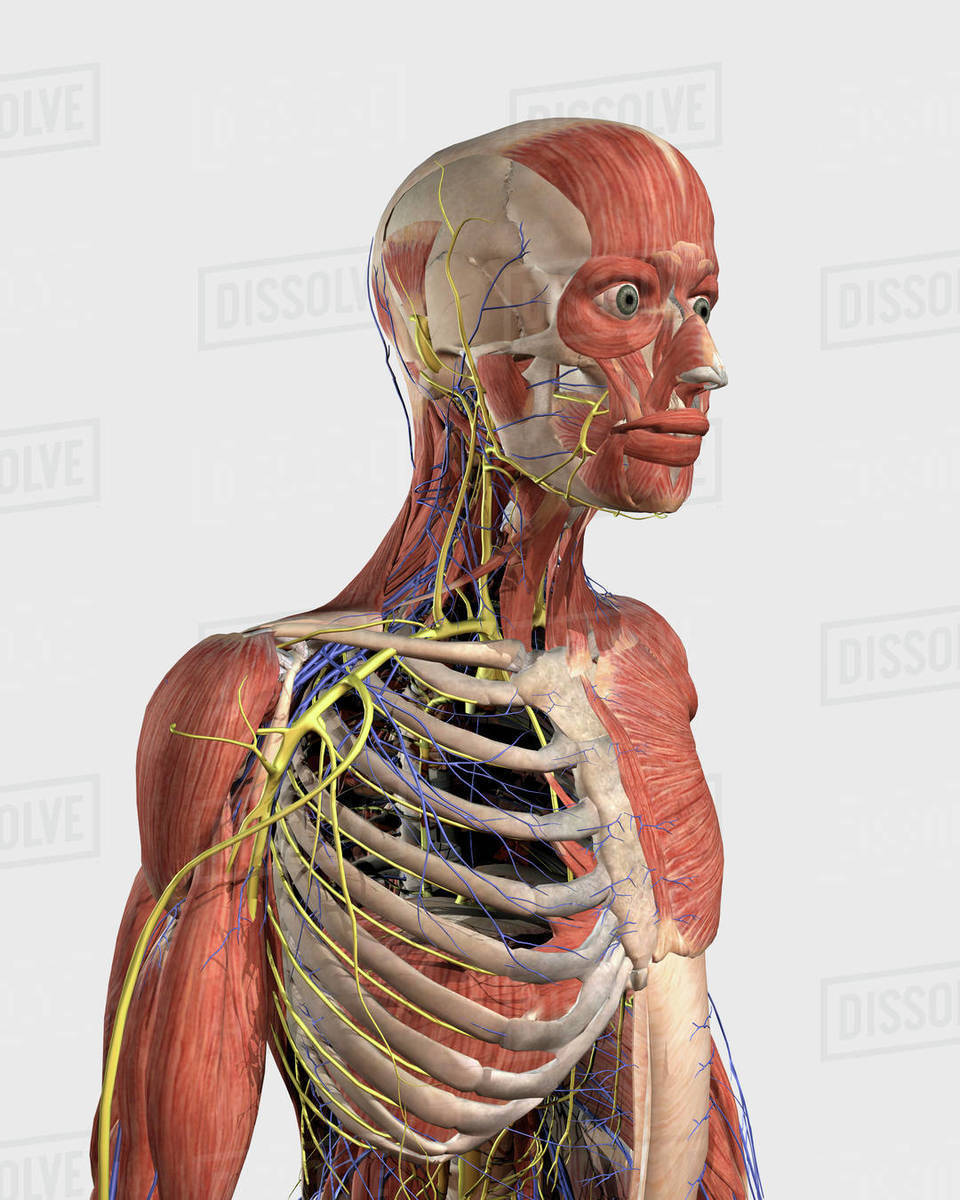 Pulmonary Circulation Of Human Heart And Lung Stock Photo Dissolve