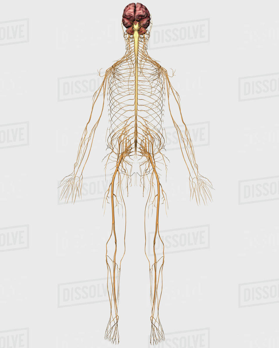 3d Rendering Of Human Lymphatic System With Skeleton Stock Photo