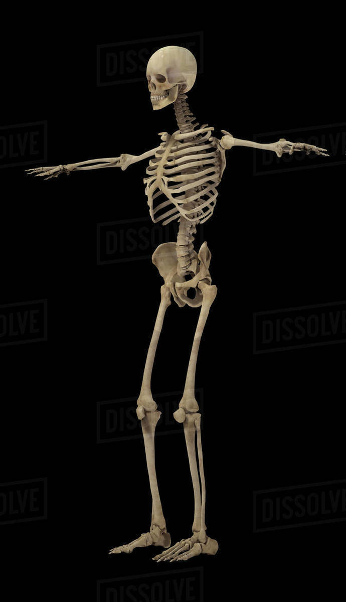 3d Rendering Of Human Skeleton With Internal Organs Stock Photo