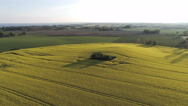 Drone shot of a canola field in Denmark Royalty-free stock video