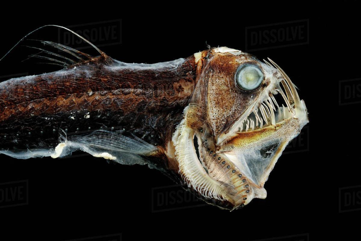 Viperfish (Chauliodus sloani) - deep sea specimen