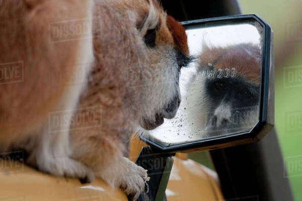 Patas monkey (Erythrocebus patas) peering at its reflection in safari vehicle mirror, Kidepo National Park, Uganda, East Africa Rights-managed stock photo